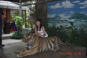 tiger with tigress