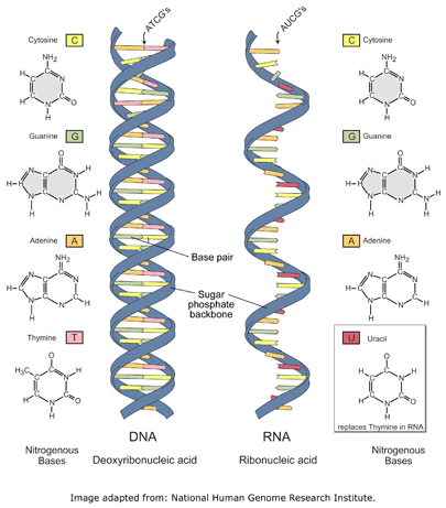 dna_versus_rna_reversed