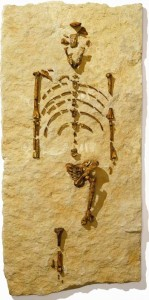 A replica of Lucy's skeleton. When Lucy was discovered in 1974, she was the oldest and most complete human ancestor known. Image courtesy of the Houston Museum of Natural Science