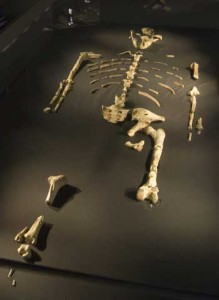 Skeleton fossils of Lucy